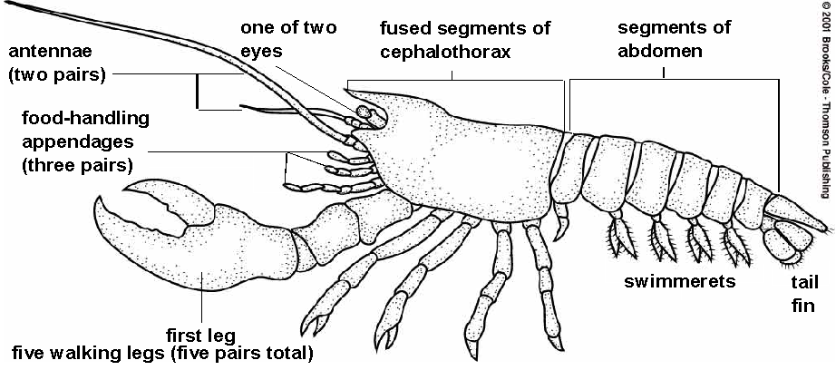 Crayfish diagram labeled
